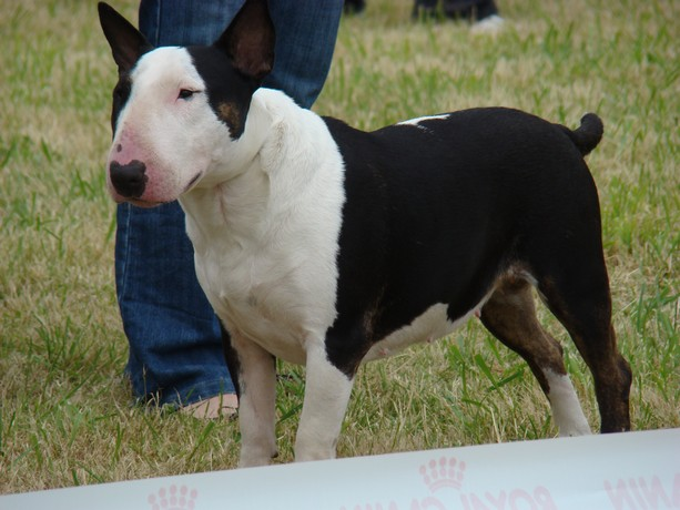 expos de bulls terriers Dsc07632