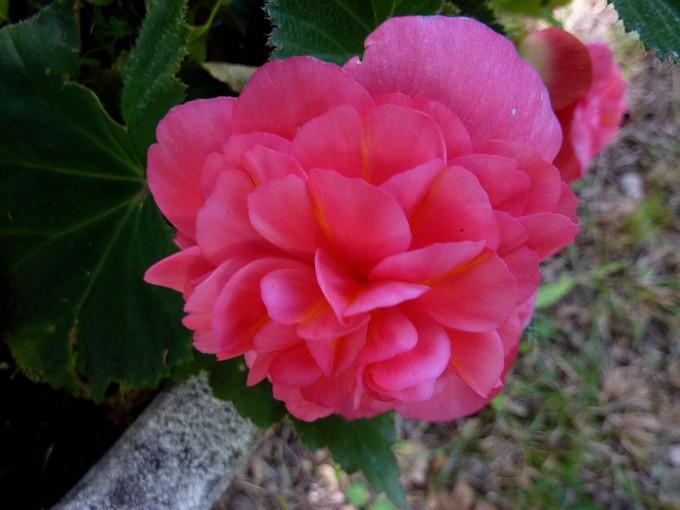 toutes les fleurs de couleur roses et rouges - Page 2 P1080010