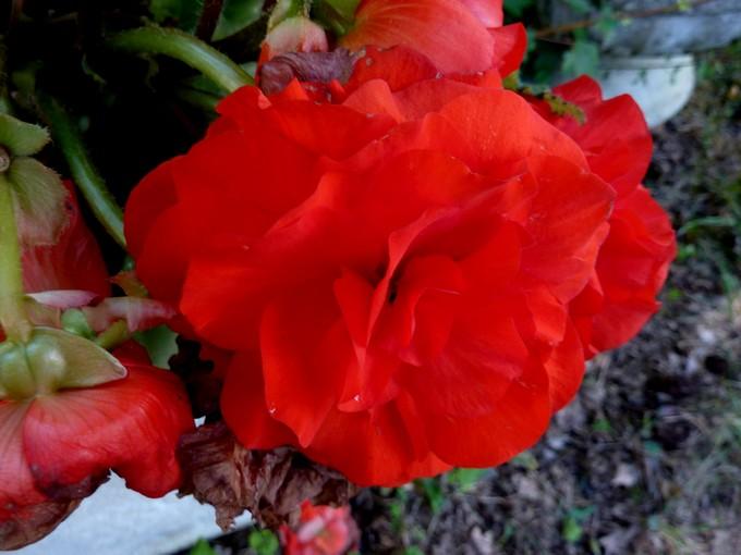 toutes les fleurs de couleur roses et rouges - Page 2 P1080011