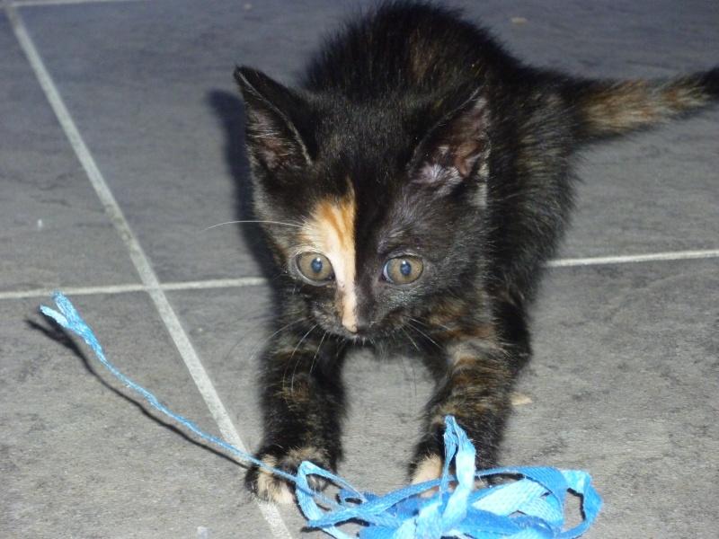 Perdu Gaufrette, chaton écaille de tortue - Toulouse 18/09/11 Perdug11