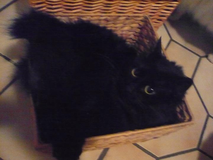 Perdu Moriane, chatte noire poil mi-long - Toulouse 11/10/11 Perdut17