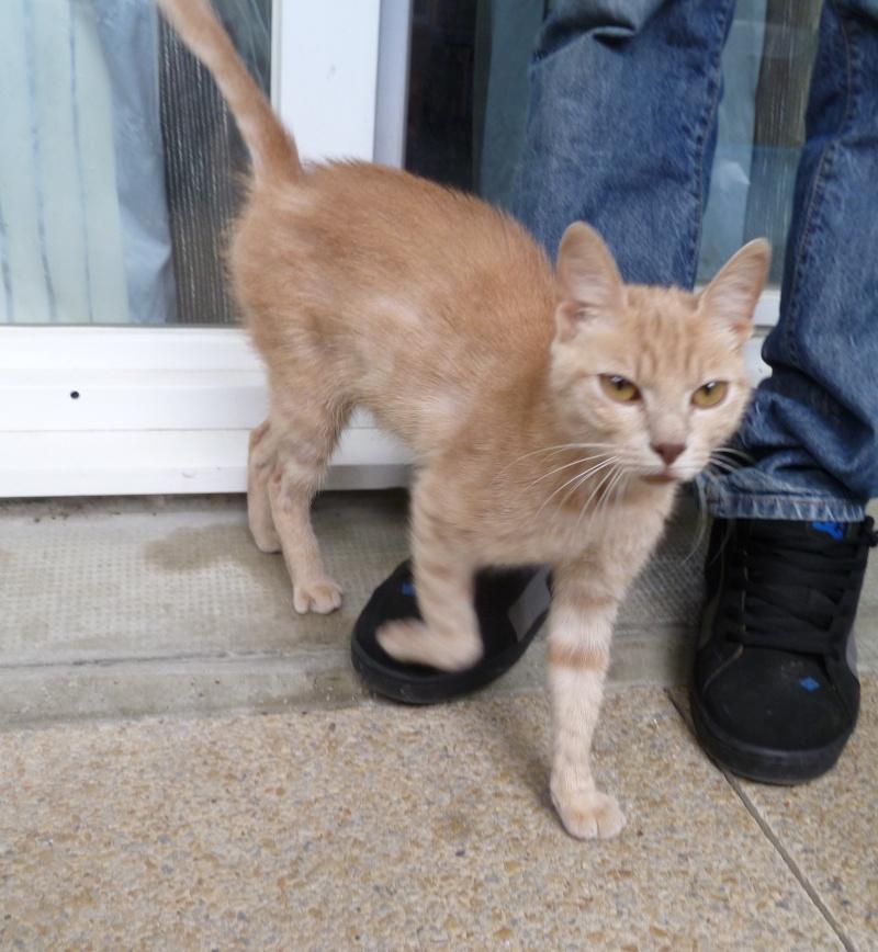 Trouvé à Villeneuve Tolosane, chat roux Trouve11