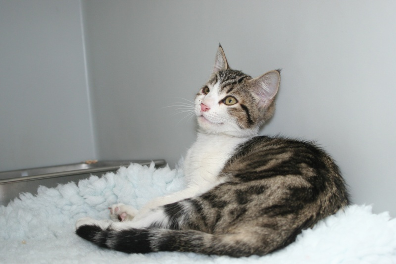 Trouvé à Colomiers (Ramassiers), chatte tigrée girse et blanche Trouve14