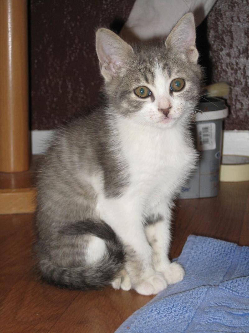 Trouvé chaton gris et blanc - Colomiers (Garoussal) 24/07/11 Trouve15