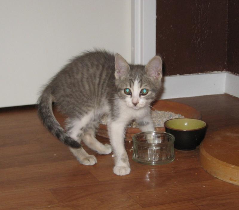Trouvé chaton gris et blanc - Colomiers (Garoussal) 24/07/11 Trouve16