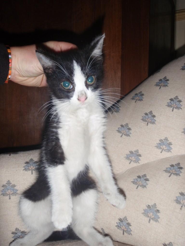 Trouvé chaton noir et blanc - Montaigut-sur-save Trouve19
