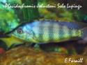 cichlidès du malawi (éric) Placid33