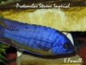 cichlidès du malawi (éric) Protom12