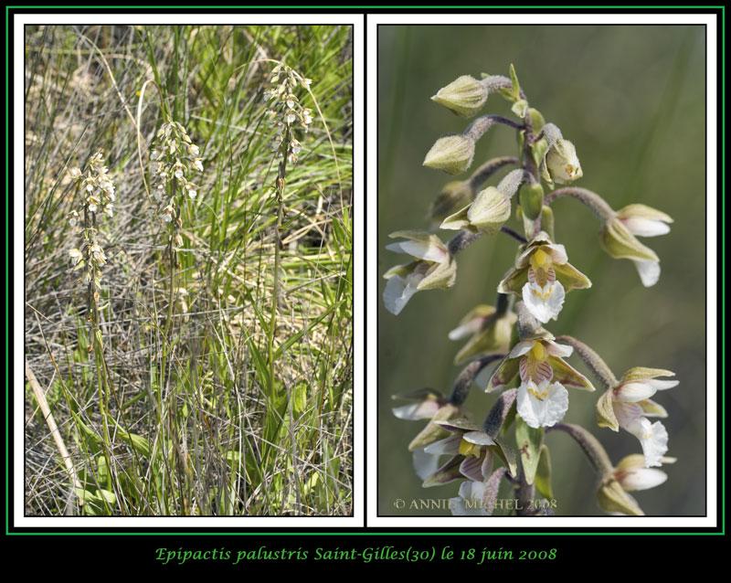 Epipactis palustris ( Epipactis des marais ) 01-02v15