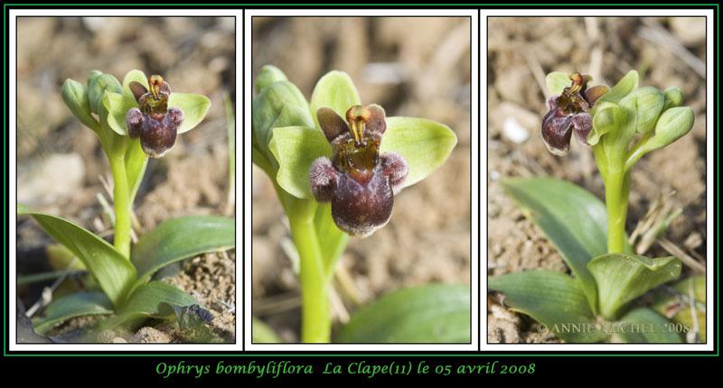 Ophrys bombyliflora ( Ophrys bombyx ) 01-3-v11