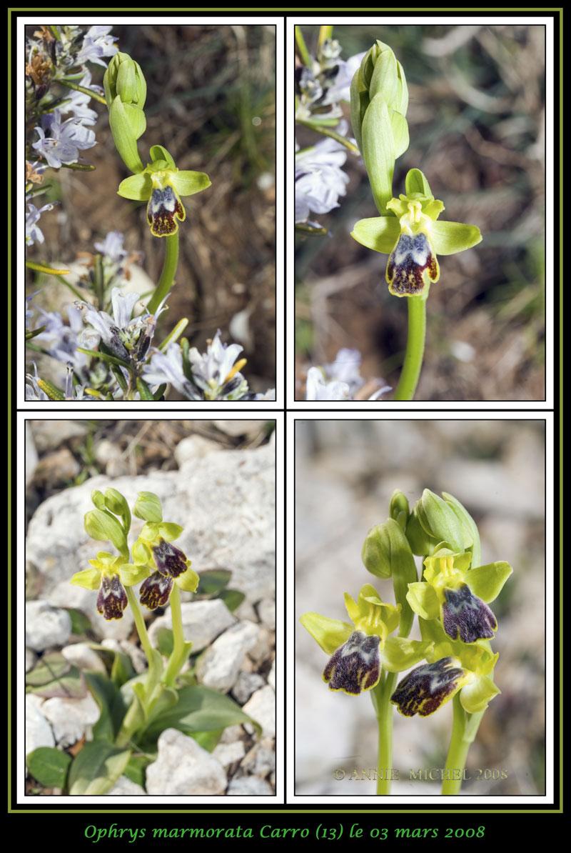 Ophrys marmorata / bilunulata / subfusca 0111