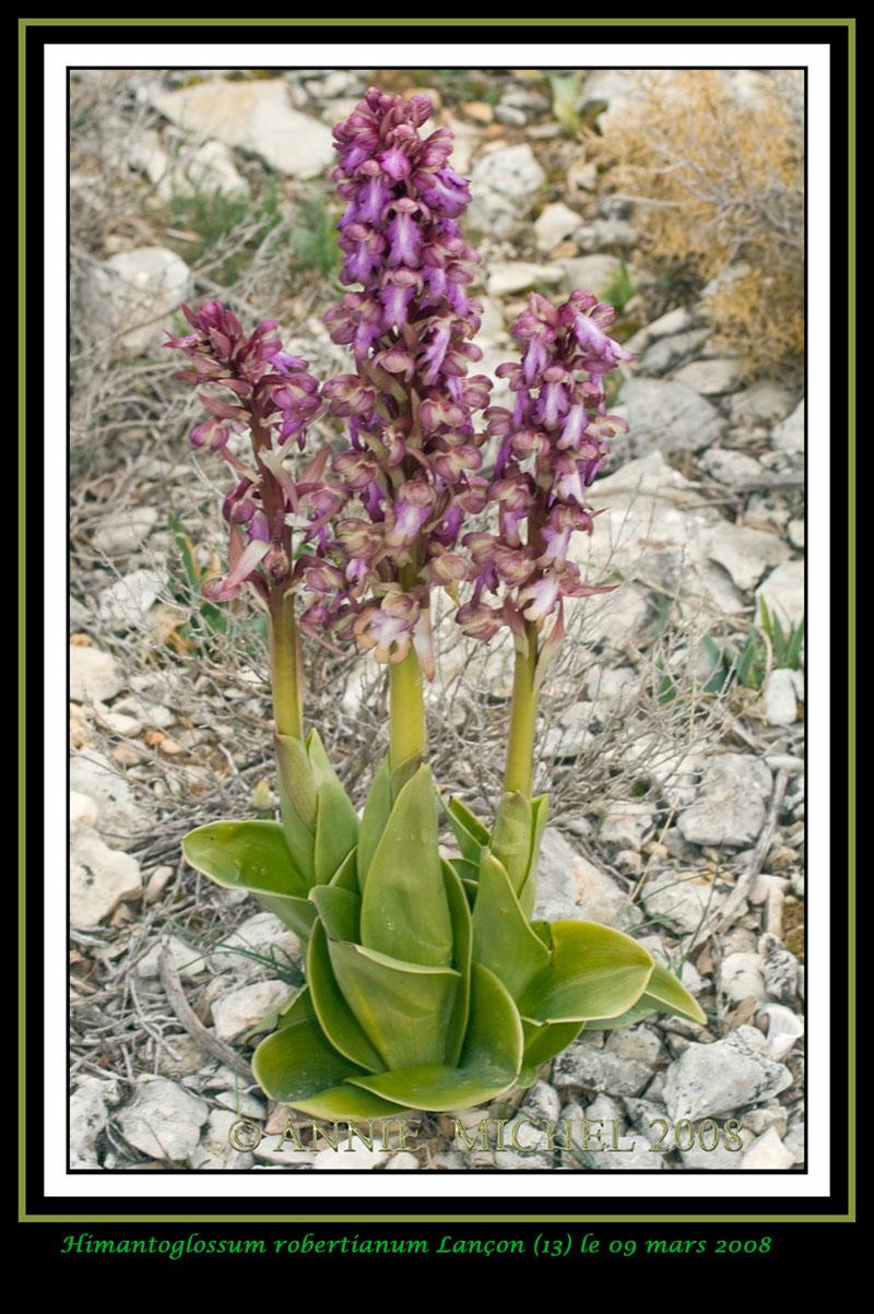 Himantoglossum robertianum (Barlia, Orchis géant ) 0114