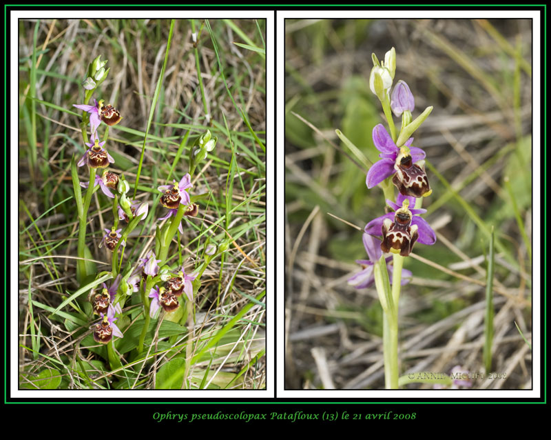 Ophrys fuciflora subspc linearis 02-02v15