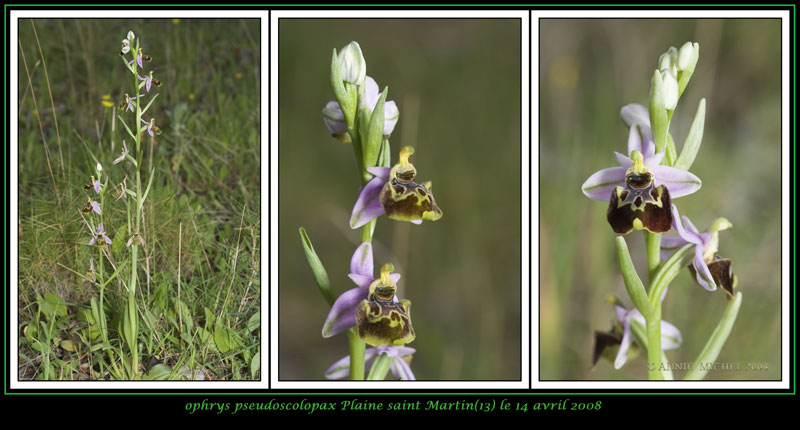 Ophrys fuciflora subspc linearis 02-03v12