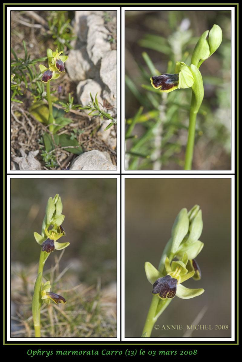 Ophrys marmorata / bilunulata / subfusca 0211