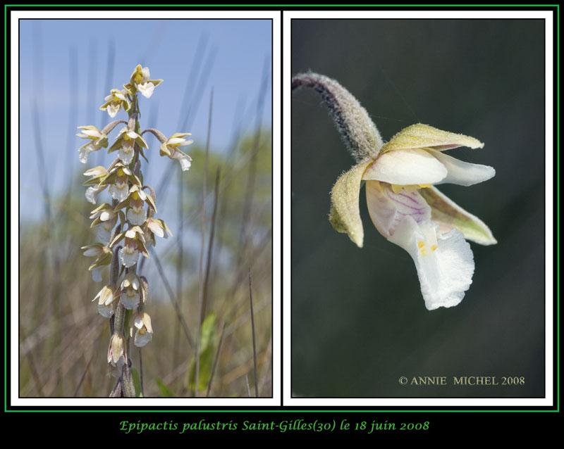 Epipactis palustris ( Epipactis des marais ) 03-02v17