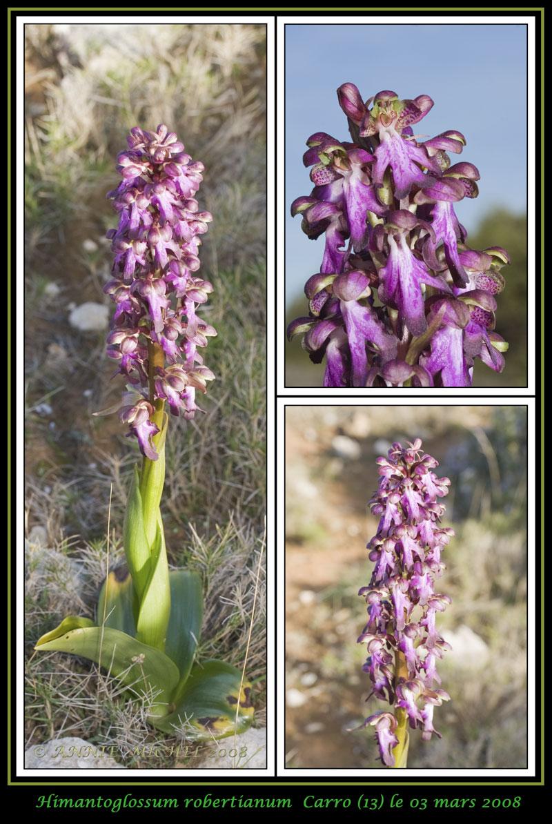 Himantoglossum robertianum (Barlia, Orchis géant ) 0311