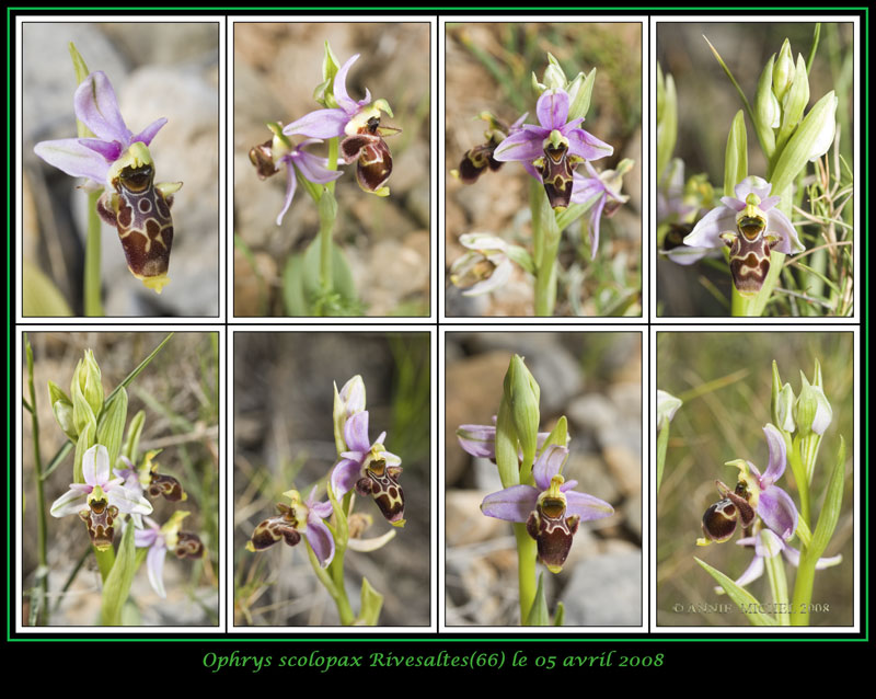 Ophrys scolopax ( Ophrys bécasse ) 04-08-10
