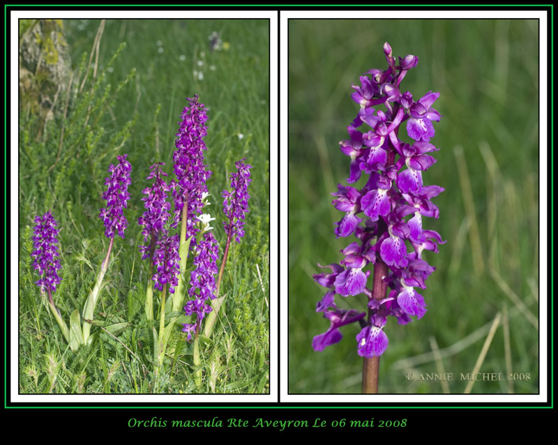 Orchis mascula ( Orchis mâle ) 04-20014
