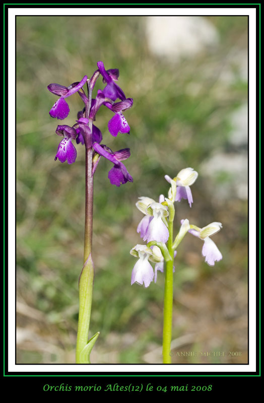 Anacamptis morio ( Orchis bouffon ) 04-20015