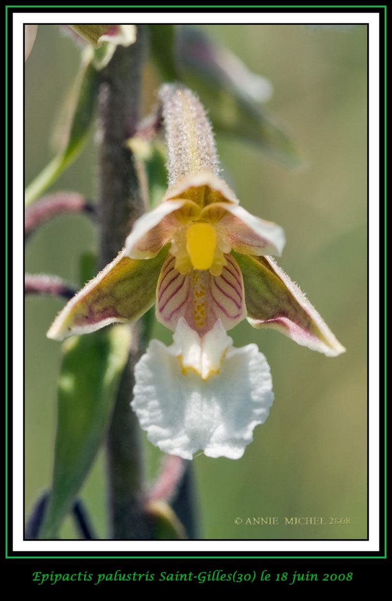 Epipactis palustris ( Epipactis des marais ) 04-img10