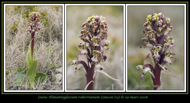 Himantoglossum robertianum (Barlia, Orchis géant ) 0415