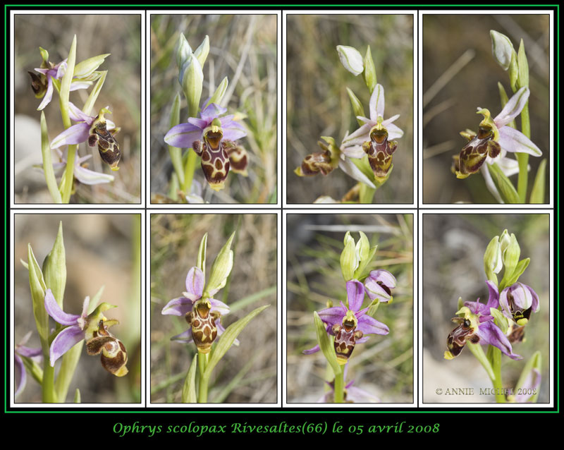 Ophrys scolopax ( Ophrys bécasse ) 05-08-11