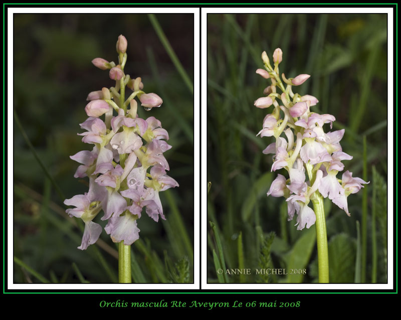 Orchis mascula ( Orchis mâle ) 05-20013