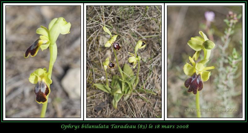 Ophrys marmorata / bilunulata / subfusca 05-3vu10