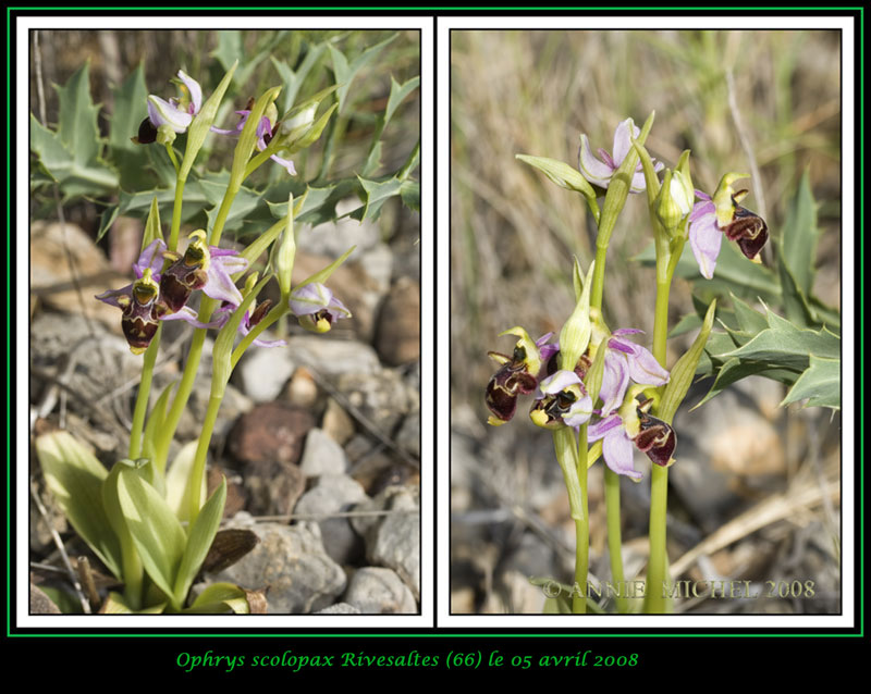 Ophrys scolopax ( Ophrys bécasse ) 06-02-13