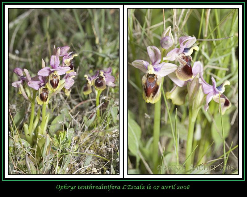 Ophrys tenthredinifera ( Ophrys guêpe ) 06-02v11