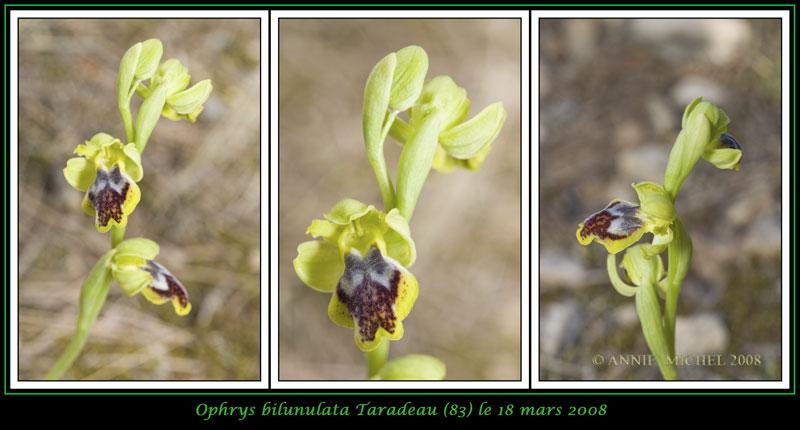 Ophrys marmorata / bilunulata / subfusca 06-3vu10