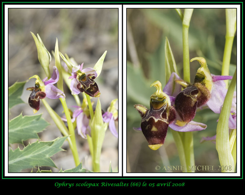 Ophrys scolopax ( Ophrys bécasse ) 07-02-13