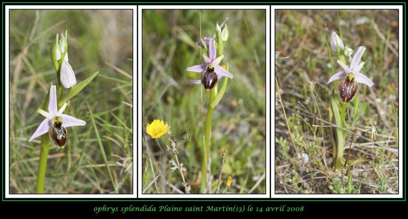Ophrys splendida ( Ophrys brillant ) 07-03v11