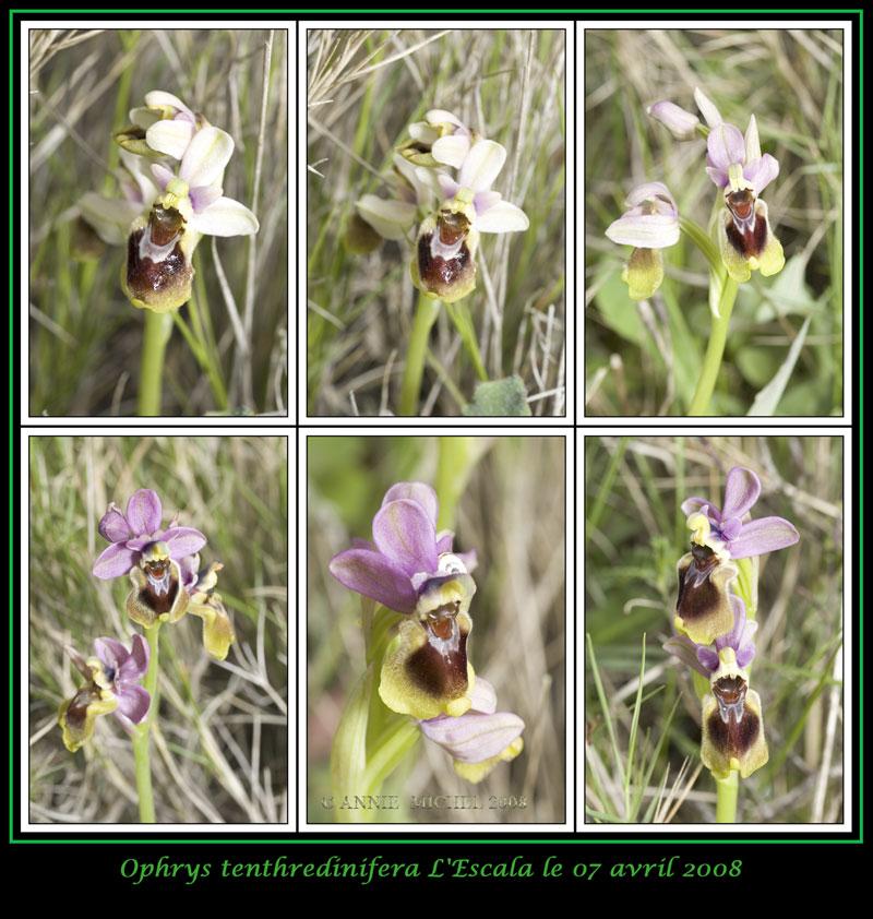 Ophrys tenthredinifera ( Ophrys guêpe ) 07-06v10