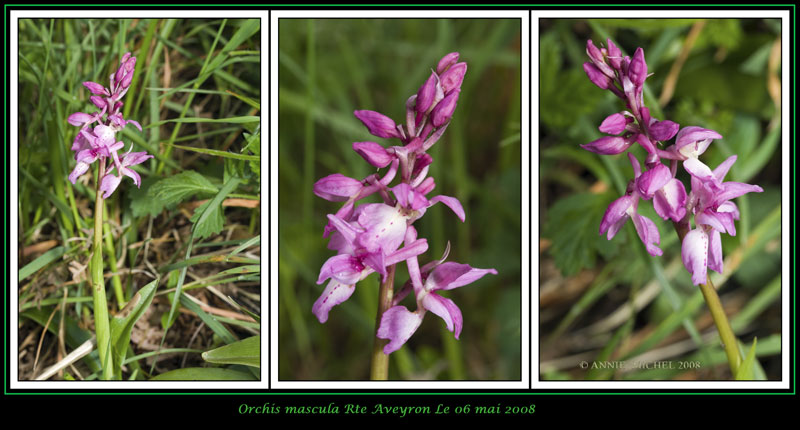 Orchis mascula ( Orchis mâle ) 07-20012