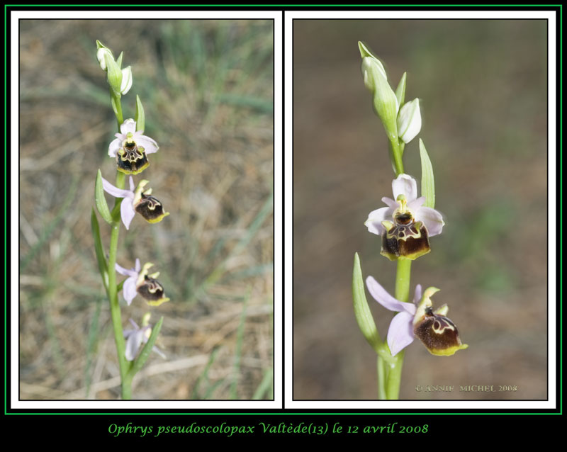 Ophrys fuciflora subspc linearis 09-02v12