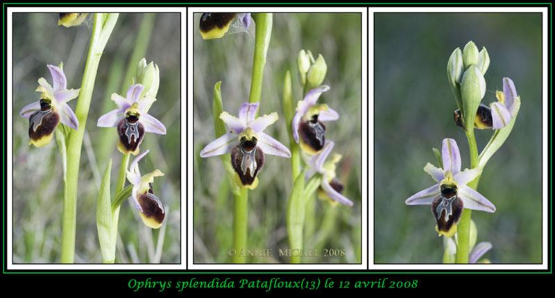 Ophrys splendida ( Ophrys brillant ) 09-03v11