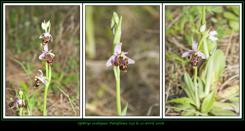 Ophrys scolopax ( Ophrys bécasse ) 12-03v12