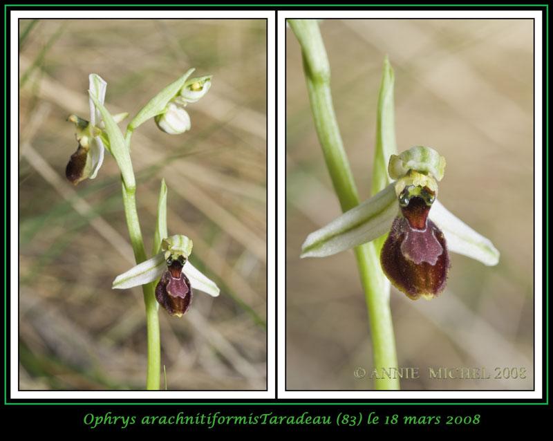 Ophrys exaltata arachnitiformis ( O. en forme d'araignée ) 12-2vu10