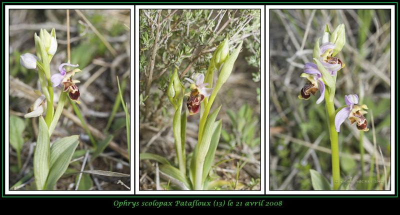Ophrys scolopax ( Ophrys bécasse ) 13-03v11