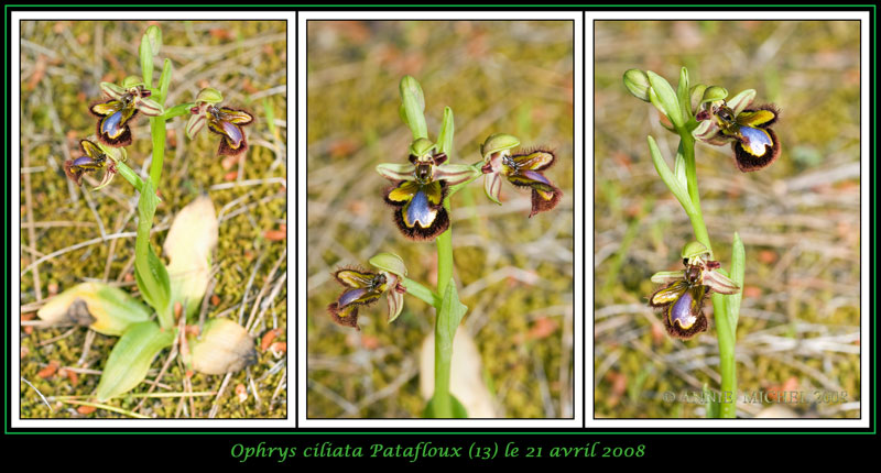 Ophrys speculum( Ophrys miroir ) 17-03v10