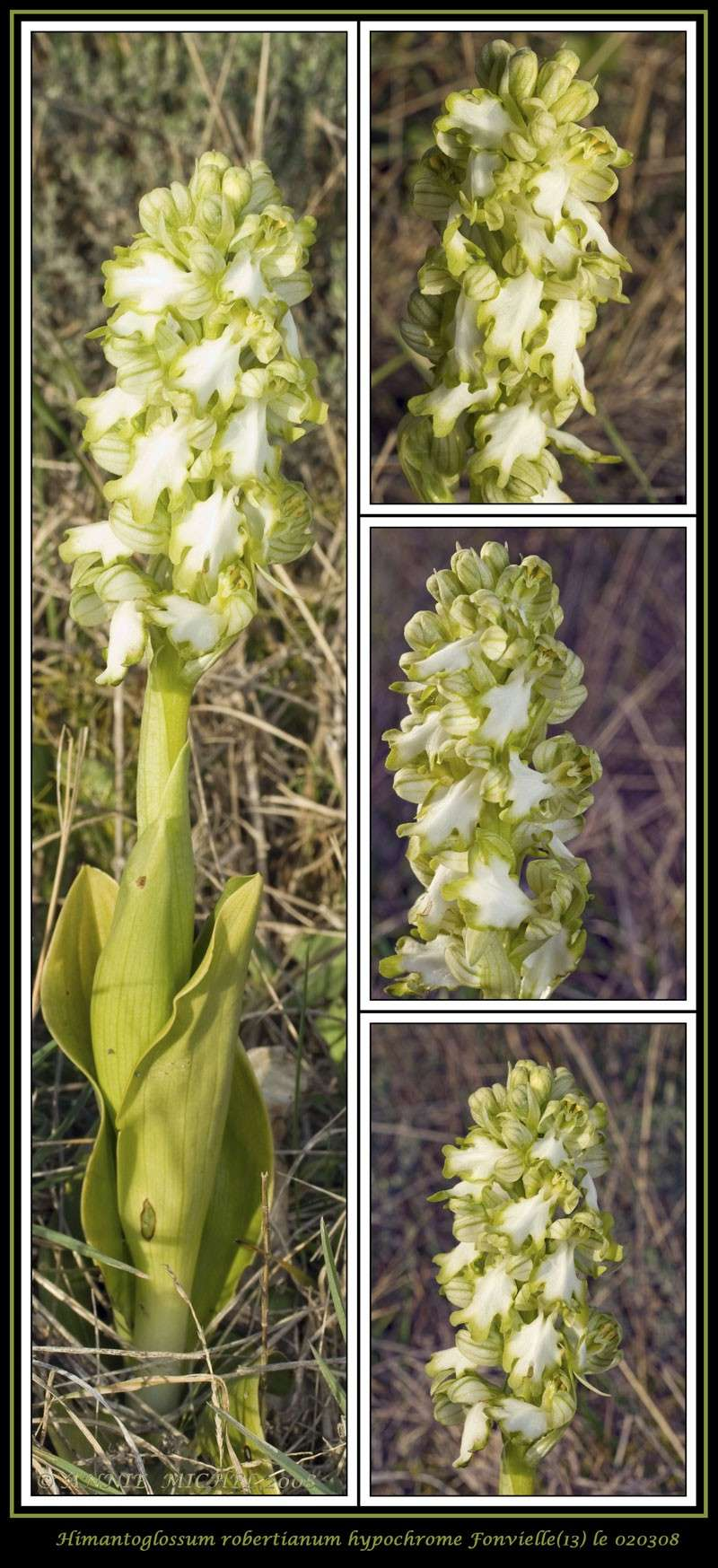 Himantoglossum robertianum hypochrome 4-vues10