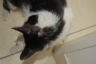 Mélynda, 1.5an noire et blanche, taillader au rasoir - Page 2 Dsc_0419
