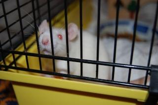 FA POUR DEUX RATS MALADES SVP Dsc_0621