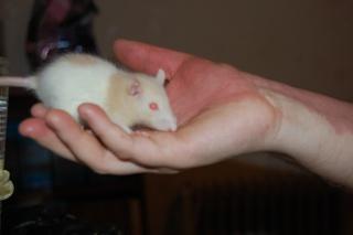 FA POUR DEUX RATS MALADES SVP Dsc_0624