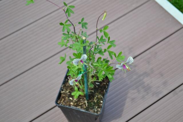 Pelargonium praemorsum Dsc_0012