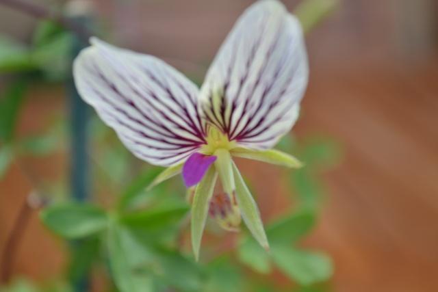 Pelargonium praemorsum Dsc_0013