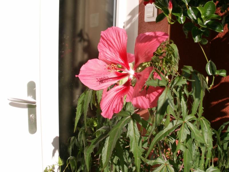mes hibiscus Pict0011