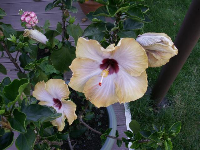 mes hibiscus Pict0013